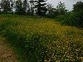 Buttercups (35068306982).jpg