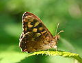 Butterfly at Sydenham Hill Wood, South London.jpg