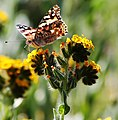 Butterfly on a Yellow Flower (16136888843).jpg