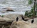 Buzzards on Rocks - James River - Richmond - Virginia - USA (40826270983).jpg