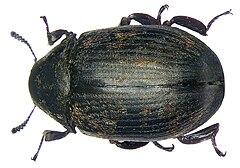 240px byrrhus pilula (linné, 1758)