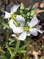 C.maritima-flor-1.jpg