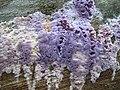 CHONDROSTEREUM PURPUREUM (Pers.) Pouzar (8339322595).jpg