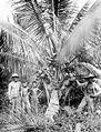 COLLECTIE TROPENMUSEUM Houten stokken ondersteunen de zware vruchttrossen van deze vijfeneenhalf jaar oude kokospalm TMnr 10012475.jpg