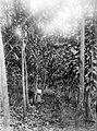 COLLECTIE TROPENMUSEUM Vier jaar oude Ficus elastica rubberbomen op de onderneming Kahoeripan bij Manondjaja TMnr 10024153.jpg