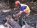 CSIRO ScienceImage 1545 Radiata Pine Field Trial.jpg