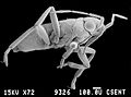 CSIRO ScienceImage 503 The Millennium Bug of the Veliidae Family.jpg