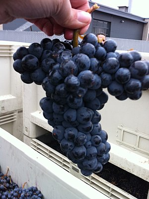 Merlot - Cabernet Franc, one of the parent varieties of Merlot.