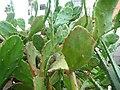 Cacti - panoramio (2).jpg