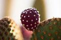 Cactus flower in Cafayate, Argentina.jpg