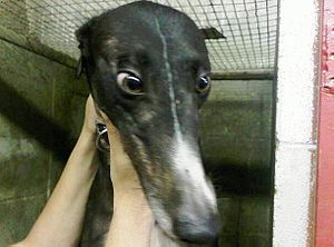 Greyhound racing - Crated greyhound at Jefferson County Kennel Club