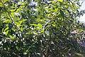 Cajanus cajan canopy.jpg