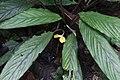 Calathea exscapa ? (Marantaceae) (29824417091).jpg