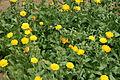 Calendula officinalis - Botanischer Garten Mainz IMG 5399.JPG