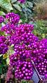 Callicarpa americana - American beauty berry.jpg