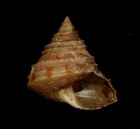 Calliostoma shinagawensis.jpg