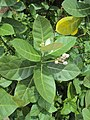 Calotropis gigantea - Crown Flower at Peravoor 2014 (14).jpg
