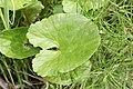 Caltha palustris 8600.JPG