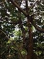 Camaleão - Parque Estadual do Cocó, CE.jpg