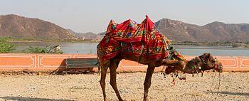 Camel resting near jal mahal.jpg