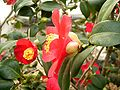 Camellia japonica 04 ies.jpg