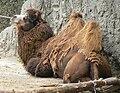 Camelus bactrianus mexico zoo.jpg