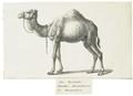 Camelus dromedarius - 1700-1880 - Print - Iconographia Zoologica - Special Collections University of Amsterdam - UBA01 IZ21600031.tif