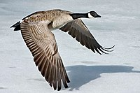 Canada-Goose-Szmurlo.jpg