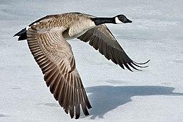 Canada-Goose-Szmurlo