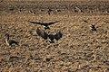 Canada goose - Branta canadensis (29945727277).jpg