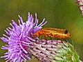 Cantharidae - Rhagonycha fulva-002.JPG