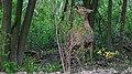 Capreolus capreolus 17 (js).jpg