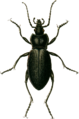 Carabus catenatus Jacobson.png