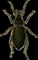 Carabus clathratus Jacobson.png