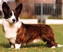 Welsh corgi cardigan – Wikipedia