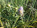 Carduncellus monspeliensium 02.JPG