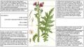 Carduus crispus Lindman DESC.PNG