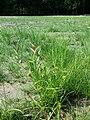 Carex bohemica sl29.jpg