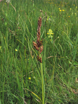 Carex disticha.jpeg