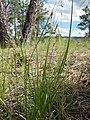 Carex inops heliophila (7462180420).jpg