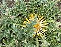 Carlina acanthifolia HabitusInflorescence BotGardBln0806c.jpg