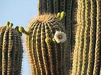 Carnegiea gigantea (2)