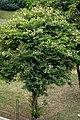 Casco de buey (Bauhinia variegata) (14986635621).jpg