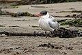Caspian Tern (immature) Drakes Beach Pt Reyes CA 2018-10-04 10-26-22 (31893541368).jpg