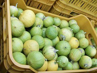 Bergamot essential oil - Bergamot fruits harvested for the production of essential oil