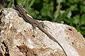 Catalonian Wall Lizard (Podarcis liolepis) male ... (44763258114).jpg