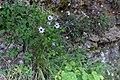 Catananche caerulea - Blå gräsfibbla-3002 - Flickr - Ragnhild & Neil Crawford.jpg