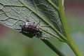Catapionus gracilicornis (15640632895).jpg