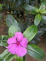 Catharanthus roseus - Madagascar Periwinkle single flower Wayanad 2021.jpg