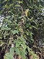 Cayratia sp. 2.jpg